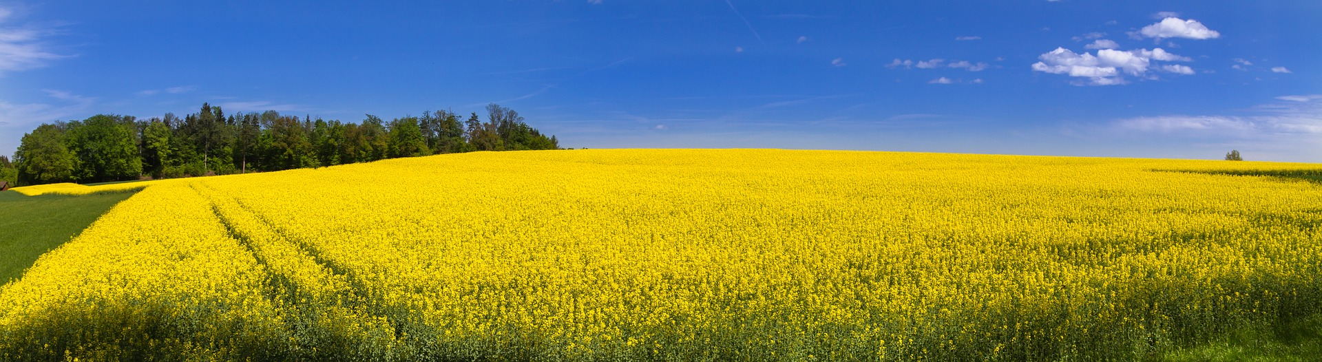 oilseed-rape-3363808_1920